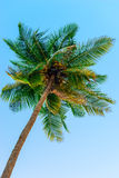 Top of a coconut tree Stock Photo