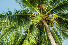 Top of a coconut tree Royalty Free Stock Photography