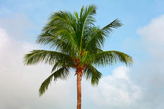 Top of a coconut tree on sky background Royalty Free Stock Image