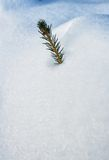 Top of a conifer in the snow Royalty Free Stock Photo