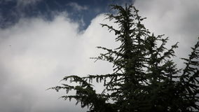 The top of conifer tree with some clouds in behind. Shot of the top of conifer tree with some clouds in behind stock video