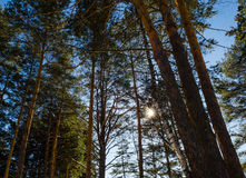 Top of coniferous forest background of sky Stock Images