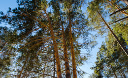 Top of coniferous forest background of sky Stock Photo