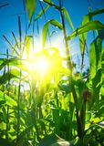 Top of corn plants with sun Royalty Free Stock Images