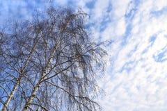 Top de abedules contra un cielo azul con las nubes blancas Imagen de archivo
