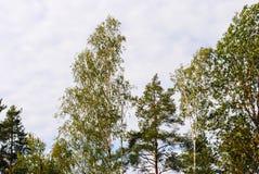 Top de abedules y de árboles de pino en la primavera Imagenes de archivo