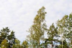 Top de abedules y de árboles de pino en la primavera Foto de archivo libre de regalías