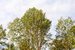 Top de abedules y de árboles de pino en la primavera Imágenes de archivo libres de regalías