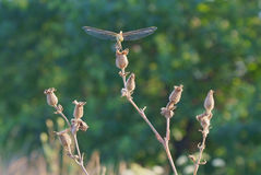 Top de la flor seca y de la libélula que sonríen contra un fondo borroso de la vegetación verde Foto de archivo libre de regalías