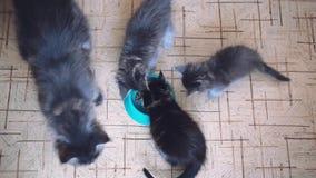 Top de la litera de la visión de los gatitos de Maine Coon con su momia grande que come la comida para gatos sana de un cuenco ju metrajes