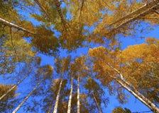 Top de los abedules y del cielo azul Fotos de archivo libres de regalías