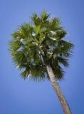 Top de palmeras del coco Imágenes de archivo libres de regalías