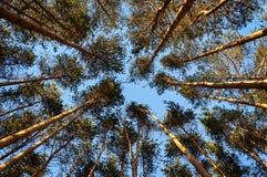 Top de troncos del pino Fotografía de archivo