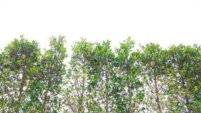 Top del árbol bayan con efectuado de luz del sol imagenes de archivo