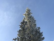 Top del árbol de abeto imagenes de archivo