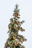Top del árbol de abeto nevado con conos Imágenes de archivo libres de regalías
