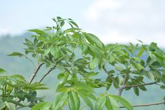 Top del árbol de Ceiba verde del Bombax Imagenes de archivo