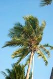 Top del árbol de coco Fotografía de archivo