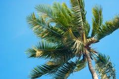 Top del árbol de coco Imagen de archivo