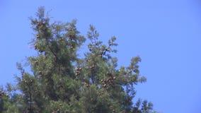 Top 01 del árbol de pino