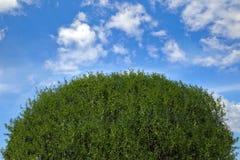 Top del árbol en el fondo del cielo azul Imagenes de archivo