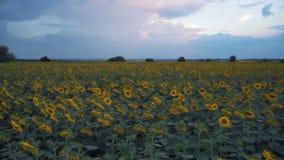 Top del panorama en el campo con el girasol floreciente almacen de metraje de vídeo