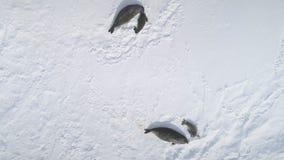 Top del sello del weddell de la Antártida abajo de la visión aérea almacen de metraje de vídeo