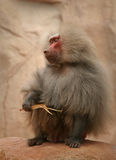 Top Dog. Leader Of Baboon troupe royalty free stock photo