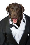 Top Dog in Tuxedo Shouting his Orders Stock Image