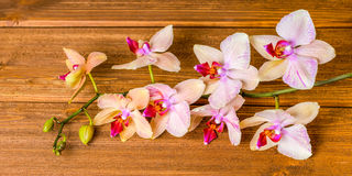 Top down of beautiful blooming twig orchid flower, phalaenopsis Stock Photos