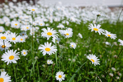 Top down beautiful field of green grass and camomiles as backgro Stock Images