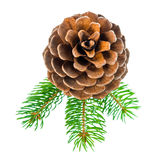 Top down of Christmas decoration pine twig with cedar cone is is Royalty Free Stock Photo