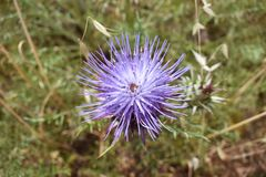 Top down close up of a spiky purple thistle. Cynareae flower growing in the Algarve countryside, Portugal Stock Images