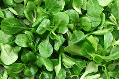 Top down detailed view, cornsalad Valerianella locusta leaves wet from water royalty free stock photo