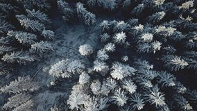 Top down snow conifer forest at mountain aerial. Winter nobody nature landscape. Snowy spruce trees