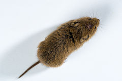 Top down view on a brown field mouse � isolated on white Stock Photography