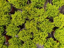 Top down view on image of little green cypresses royalty free stock photo
