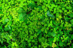 Top-Down view of lush Vegitation. A top-down close up view of lush green forest undergrowth. Various plants, leaves and species Royalty Free Stock Image