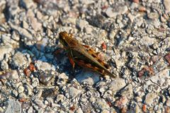 A top down view of a red legged grasshopper on gravel Stock Photos