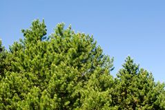 Top of evergreen trees Royalty Free Stock Images