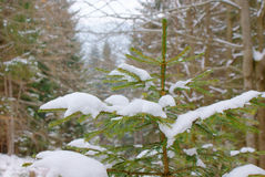 The top of fir tree closeup in wild stock images