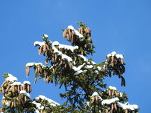 Top of a fir tree under snow Royalty Free Stock Photos