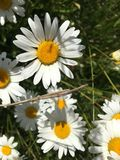 From the top. It is a flower like a daisy. It is in Lithuania in summer. Scientists calls it leucanthemum royalty free stock photo
