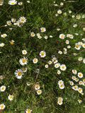 From the top. It is a flower like a daisy. It is in Lithuania in summer. Scientists calls it leucanthemum stock images