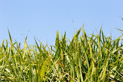Top foliage of sugar cane crop in field with blue sky Stock Images