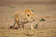 Top of the Food Chain Royalty Free Stock Photos