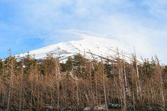The top of Fujiyama and dry tree in Japan Stock Images