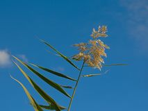 Tops of a giant reed cane on a blue sky - Arundo donax. Top of giant reed on a blue sky in Guadalhorce river estuary nature reserve in Malaga - Arundo donax royalty free stock images