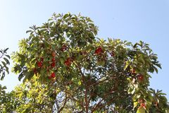 Greek Strawberry Tree with Red Fruits. Top of Greek Strawberry Tree, also known as Arbutus andrachne, with its red fruits Royalty Free Stock Images