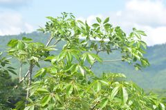 Top of Green Bombax Ceiba Tree. Bombax ceiba, like other trees of the genus Bombax, is commonly known as cotton tree. Known as Semal or Shalmali in India Stock Photography